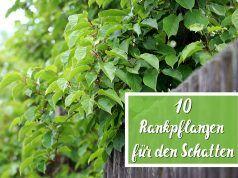 Rankpflanzen für den Schatten: 10 Kletterpflanzen - Gartendialog.de