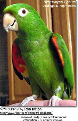 White Eyed Conures Eyes Conure
