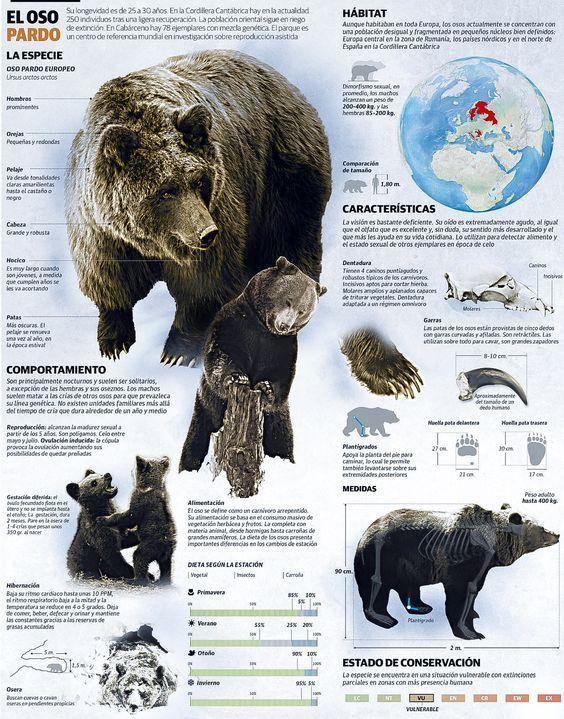 Oso pardo, Ursus arctos arctos   Mamíferos - Carnívoros - Caniformia ...