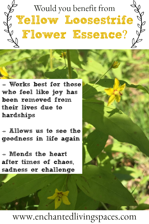 Yellow Loosestrife Flower Essence Comes In When Joy Has Been Diminished From Your Life Because Of Ha Flower Essences Healing Flowers Flower Essences Remedies