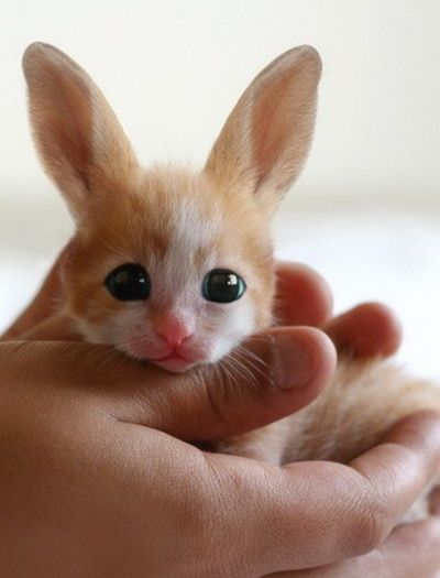 Baby Fennec hare, I want you!