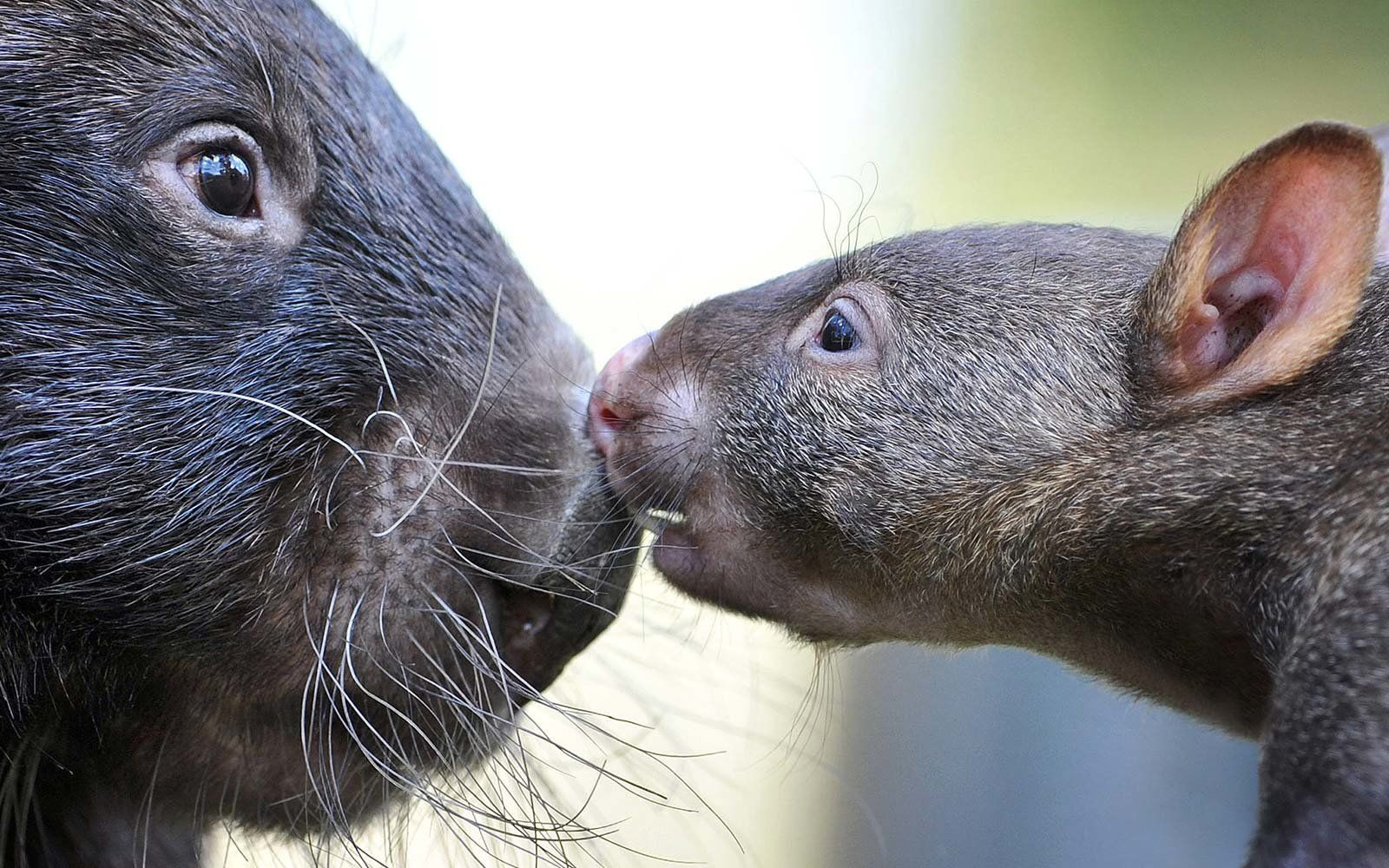 Walk Wombats At This Sanctuary In Australia