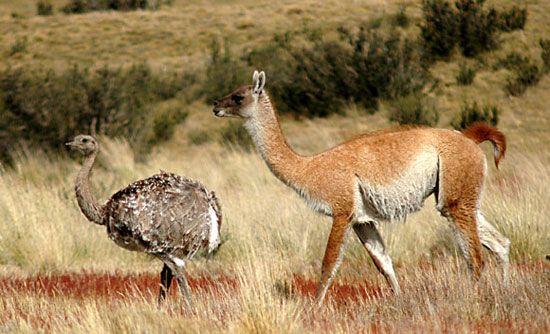 Parte de la Fauna Patagónica esta compuesta por Guanacos y Ñadúes (también llamados Choiques). Foto Horacio Córdoba