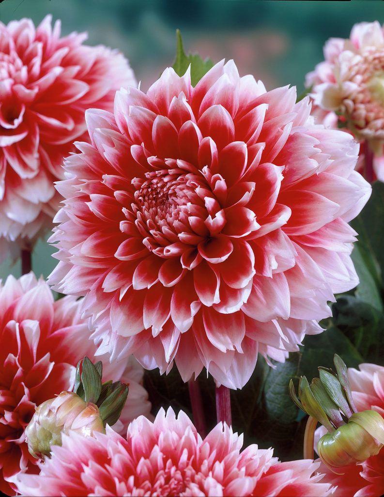 Dahlia Red And White Fubuki Flores Bonitas Dalias Flores
