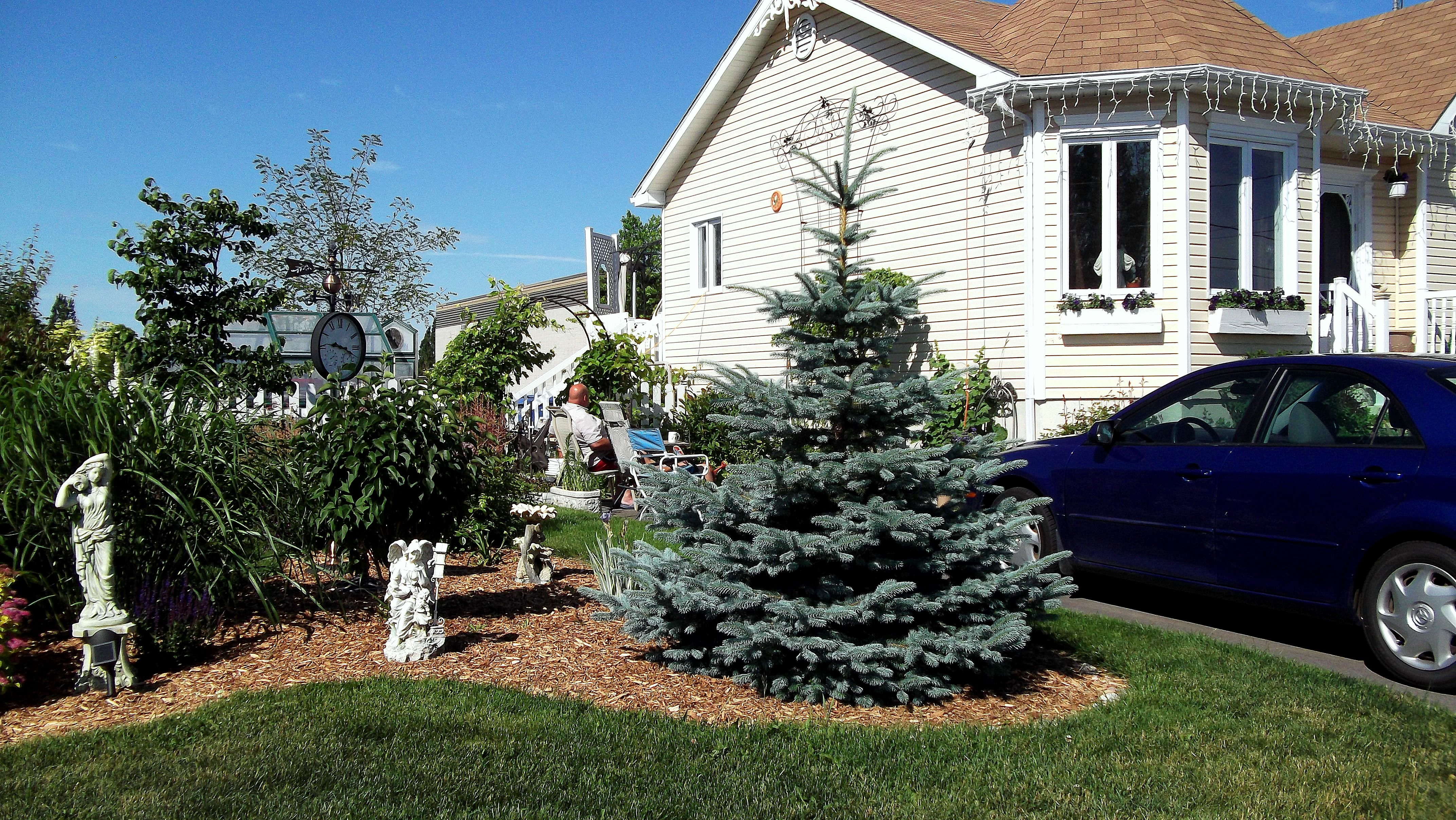 Glancing Encore Blue Anne Encore Blue Anne De Baby Blue S Spruce Trees Baby Blue S Spruce Images houzz-02 Baby Blue Eyes Spruce