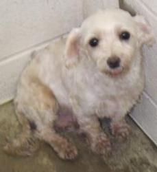 Ally Is An Adoptable Maltese Dog In Quakertown Pa Sweet