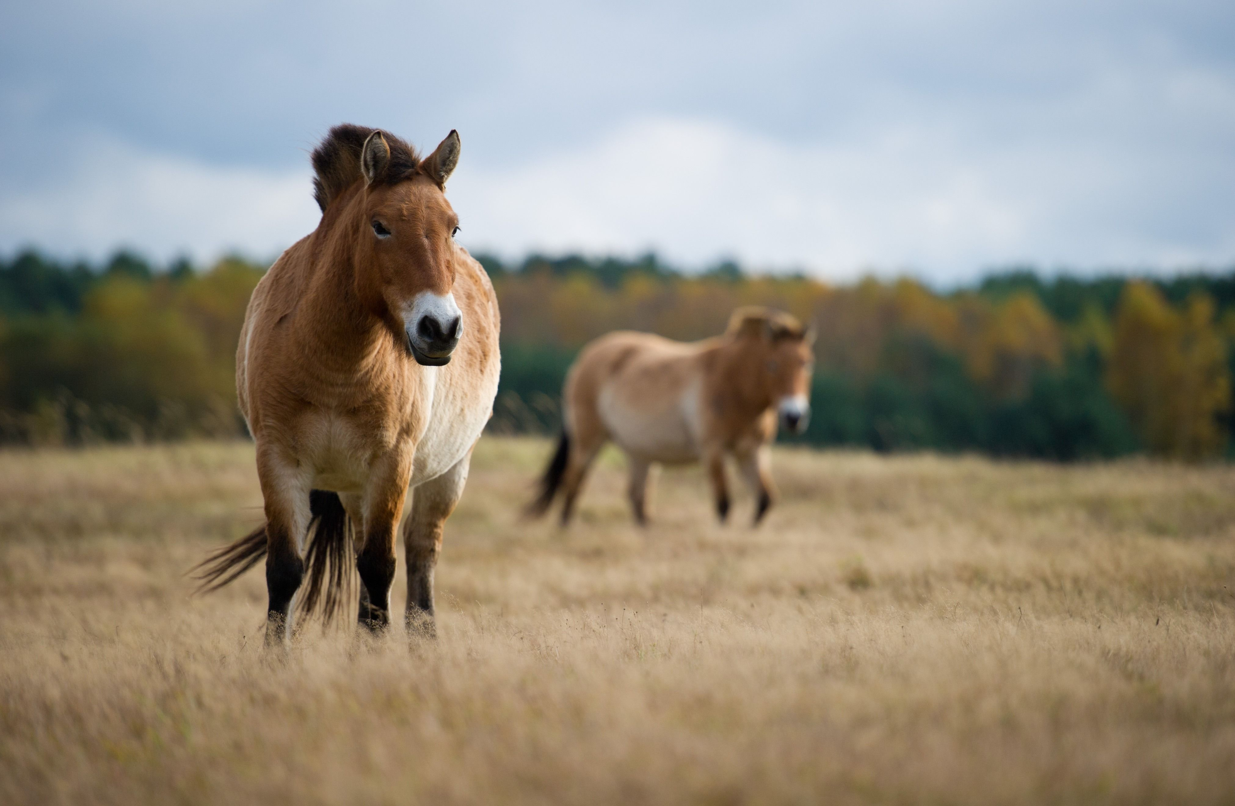 Przewalski's horses 10 things you didn't know about the
