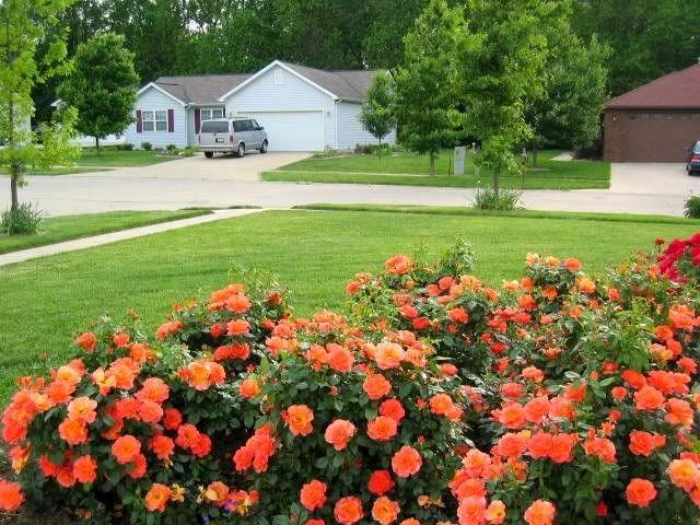 Simple Rose Garden: Mass Planting Of Livin' Easy