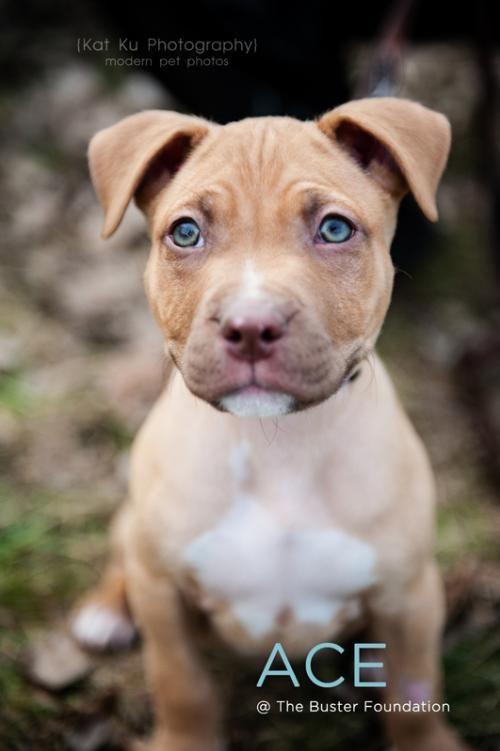Adopt Ace On Pitbull Terrier Dogs Bull Terrier Dog