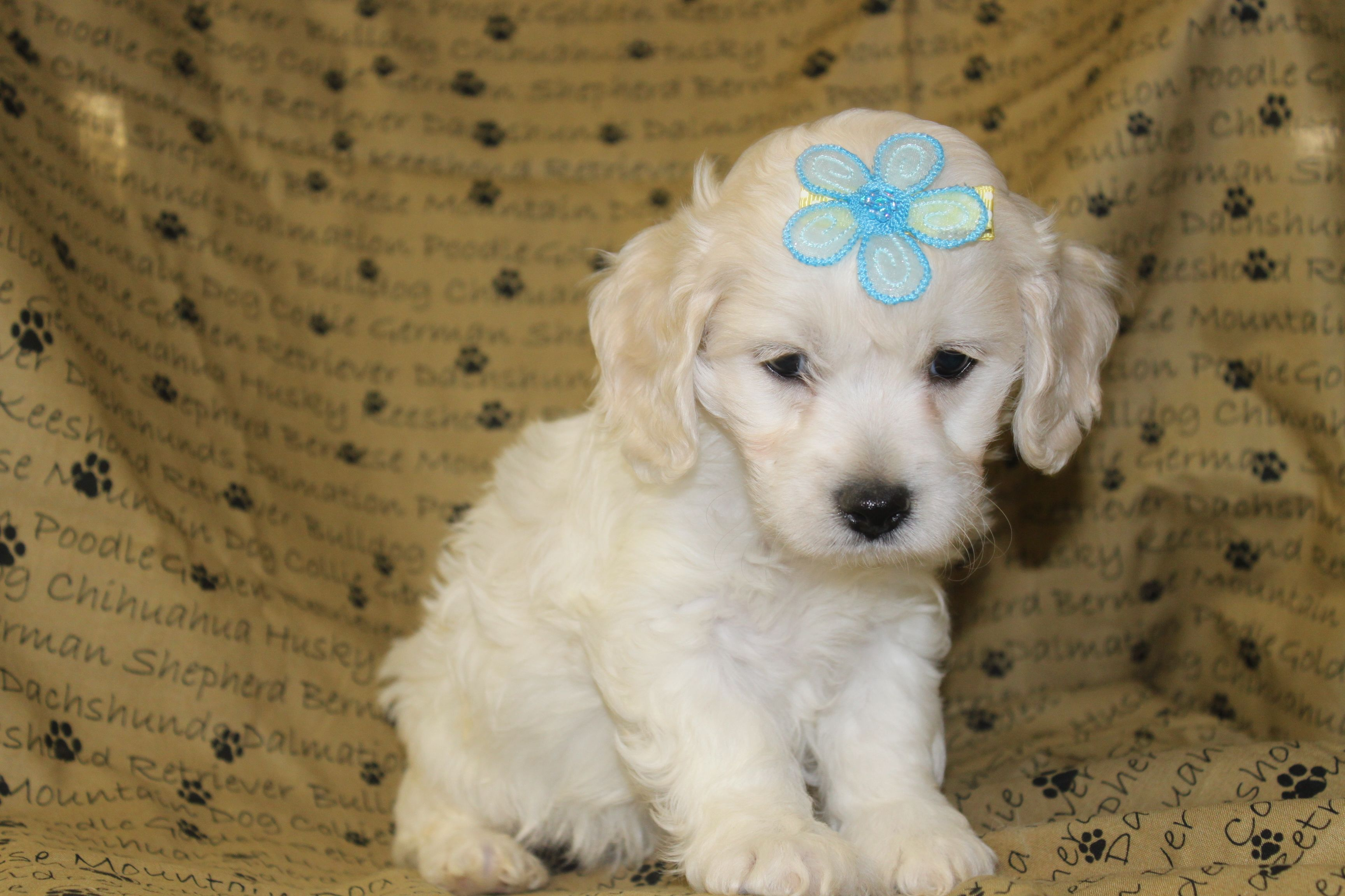 Maltipoo Puppies For sale Here is a new male for sale at