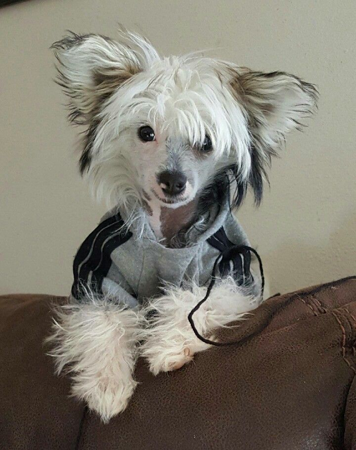 My Beautiful Sapphire Chinese Crested Chinese Crested Dog