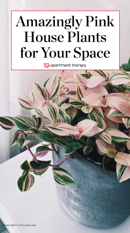 Pink Indoor House Plants  Apartment Therapy