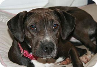 Rockaway, NJ Labrador Retriever/Feist Mix. Meet Diamond