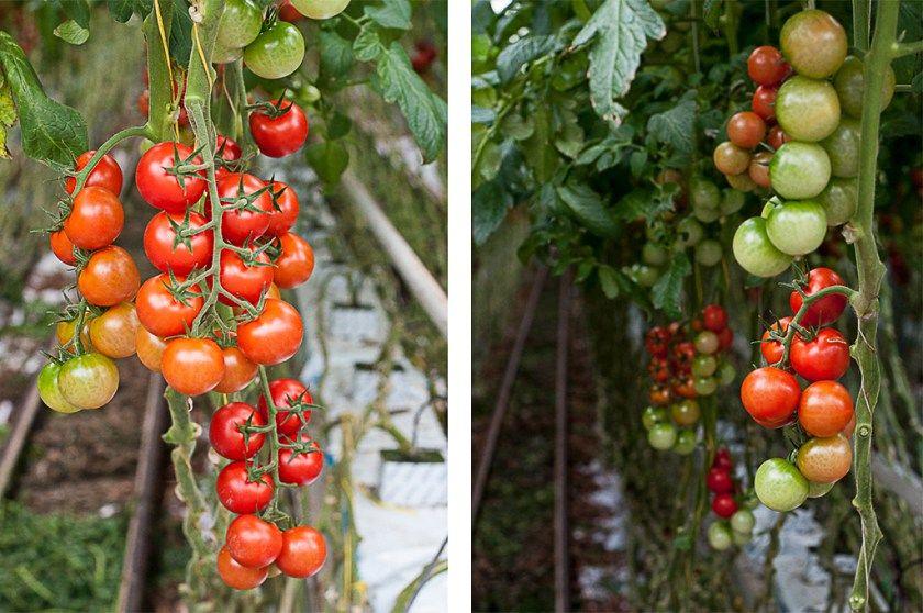 Tomaten Im Gewachshaus Hollands Gewachshauser Wordpress
