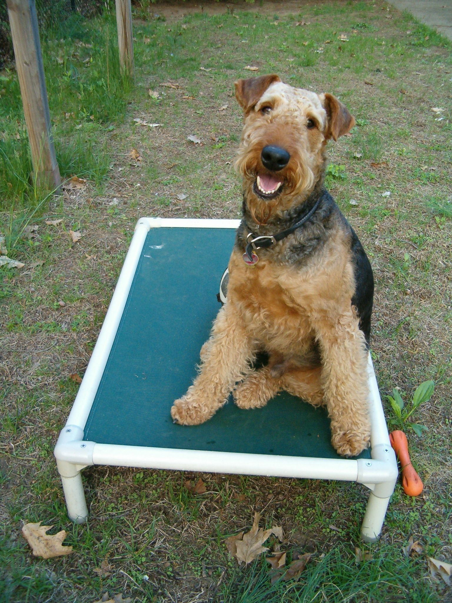 This Airedale Terrier Posing On Her New Kuranda Bed
