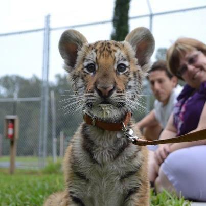 Got MILK - tiger