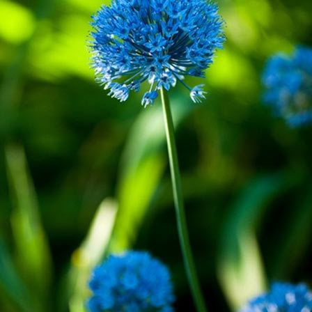 25 Most Beautiful Blue Flowers