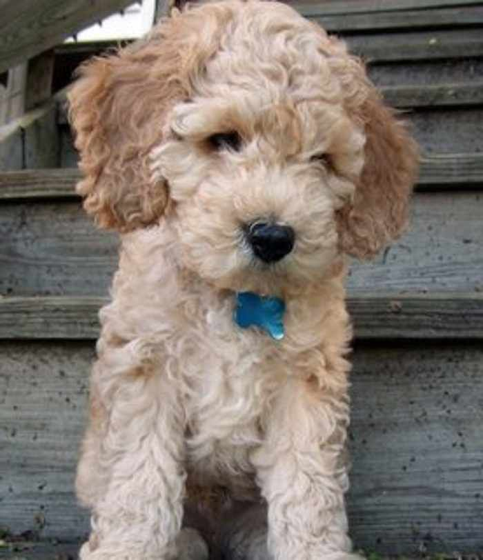 Mix Dog Breeds That Don T Shed Cockapoo Dog Cockapoo Puppies