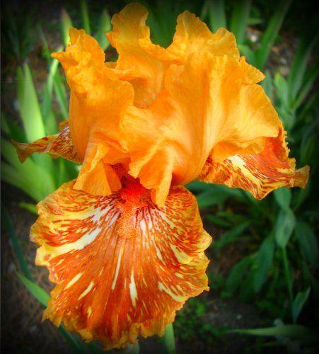 Orangutan Orange Tall Bearded Iris Rhizome 'Iridaceae' 1 Bulb Rhizome:Amazon:Patio, Lawn & Garden