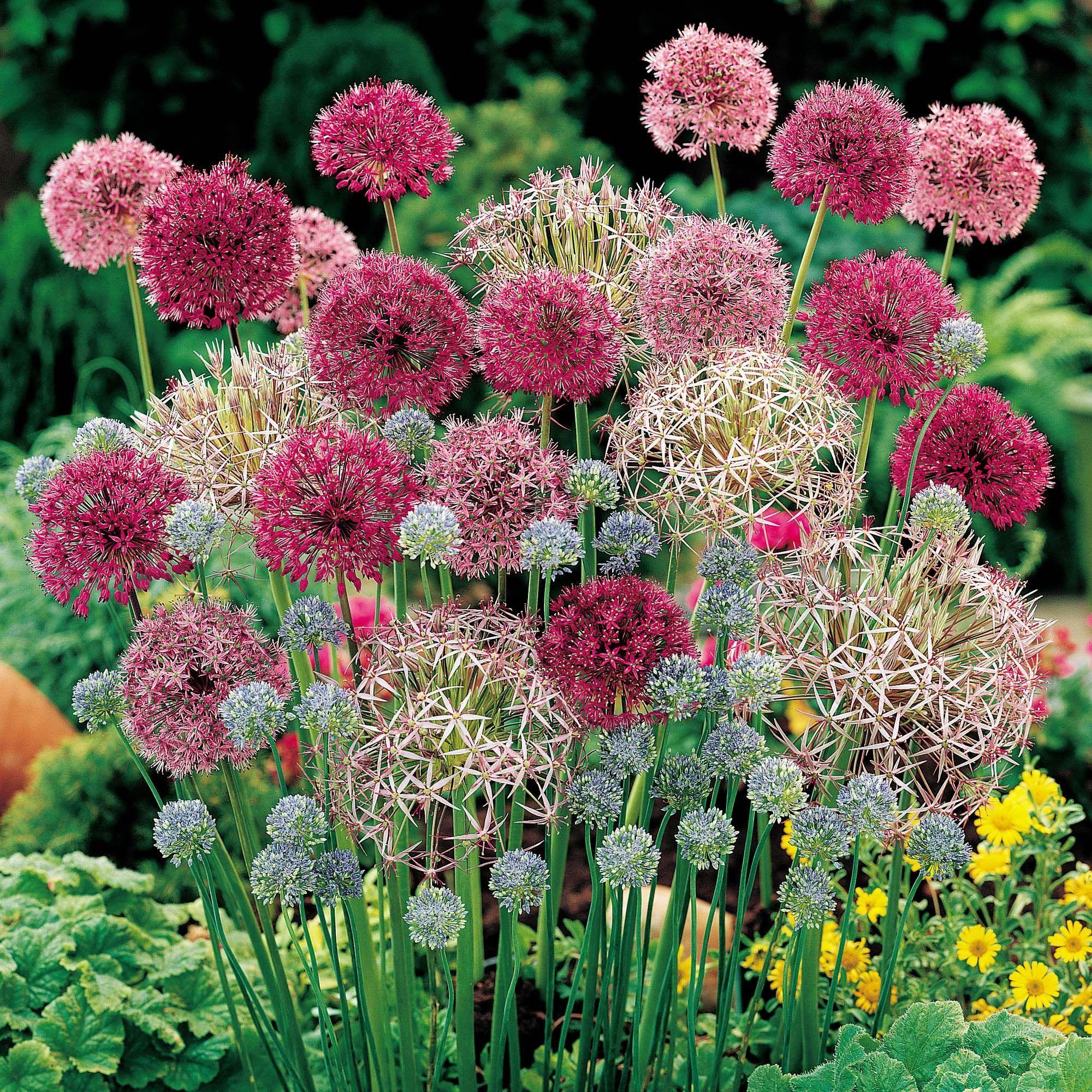 Photo of Allium 'Cottage Garden Collection'