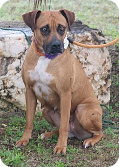 Pictures of Meadow a Boxer Mix for adoption in Pluckemin