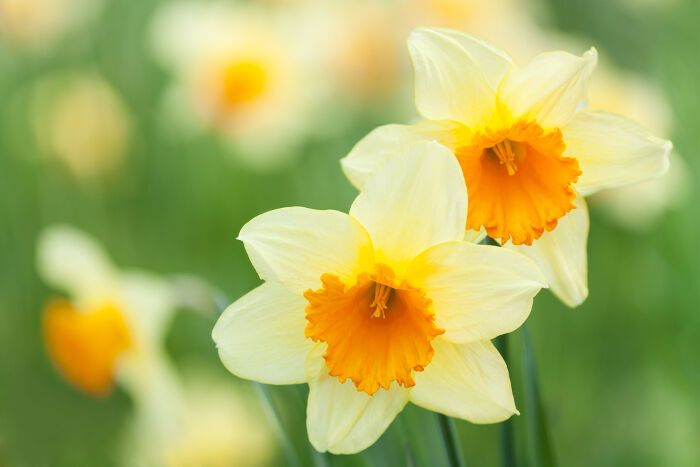 Narcissus Flowers I Love The Story Behind This Flower Narcissus Flower Flower Meanings Daffodil Flower