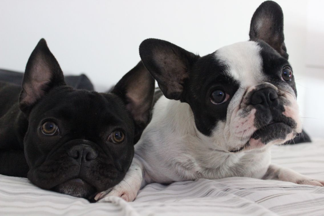 Frenchie love brothers puppy puppies frenchie boston