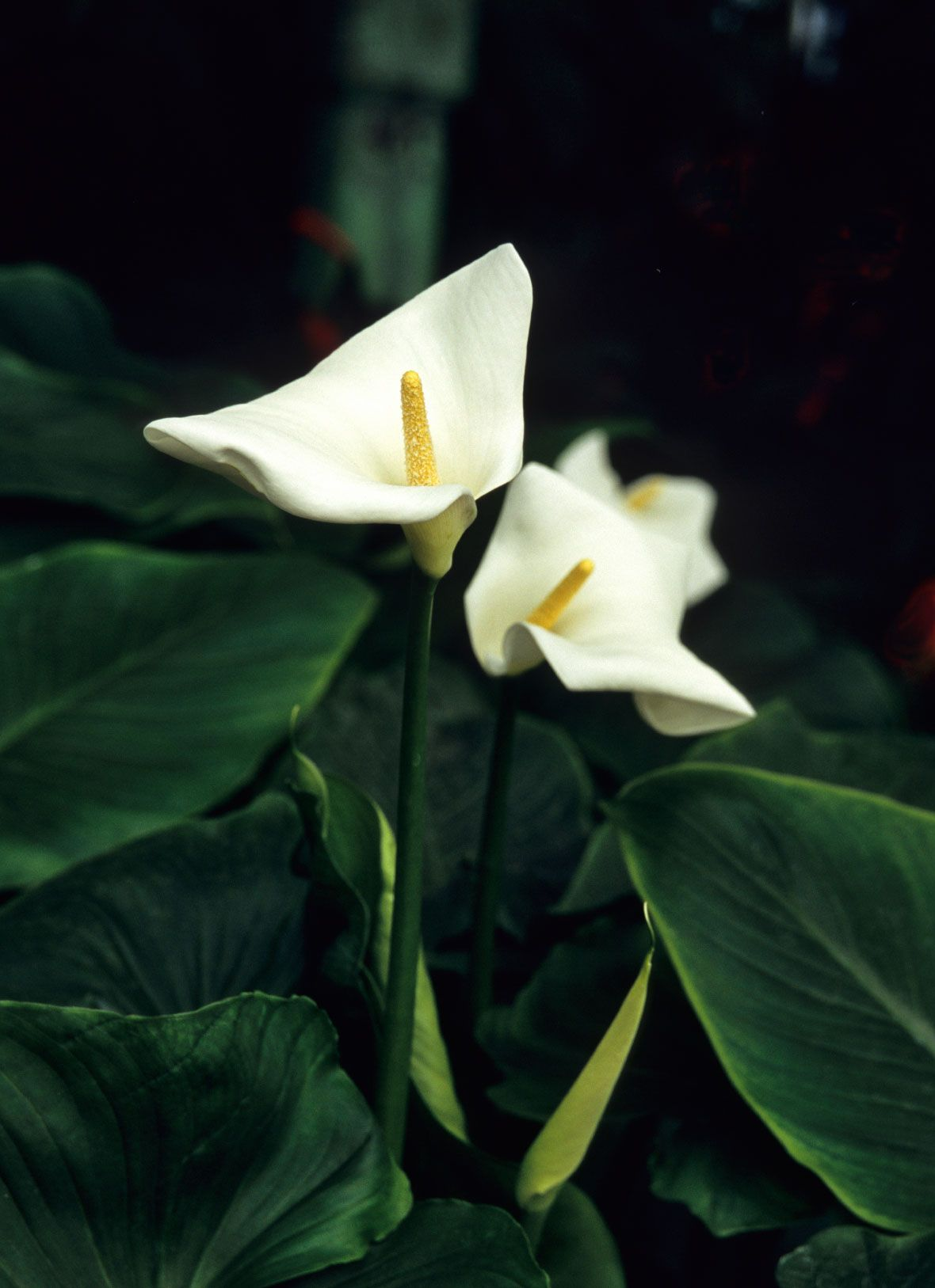My peace lily wont flower how to get a peace lily plant to bloom the peace lily is an ornamental plant generally sold for the home interior often a peace lily wont flower no matter how you care for it izmirmasajfo Image collections
