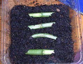 vegetative vermehrung von orchideen garten pinterest pflanzen g rten und blumen. Black Bedroom Furniture Sets. Home Design Ideas