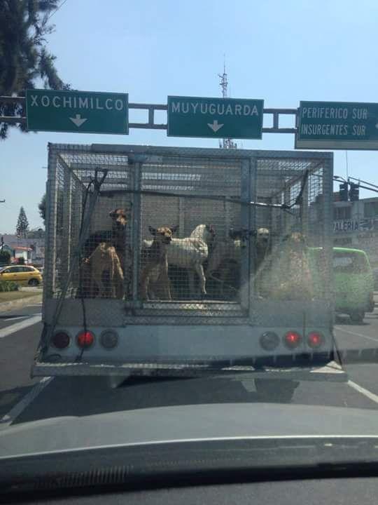 Camioneta de la perrera tiene permiso de MATAR y también para  CIRCULAR SIN PLACAS ¿@hiramalmeidae quedará IMPUNE?