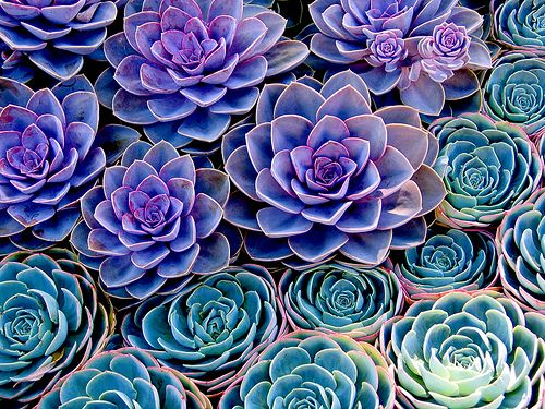 hens and chicks- love the color of these, this is a cute plant that I'd love to have in my yard (whenever we get a house).