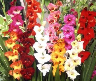 Gladiolus Flower Bulbs Border Mix Easiest Flowers To Grow Bulb Flowers Gladiolus