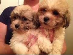 Zuchon Puppies For Sale Walsall West Midlands Pets4homes Zuchon Puppies For Sale Puppies For Sale Puppies