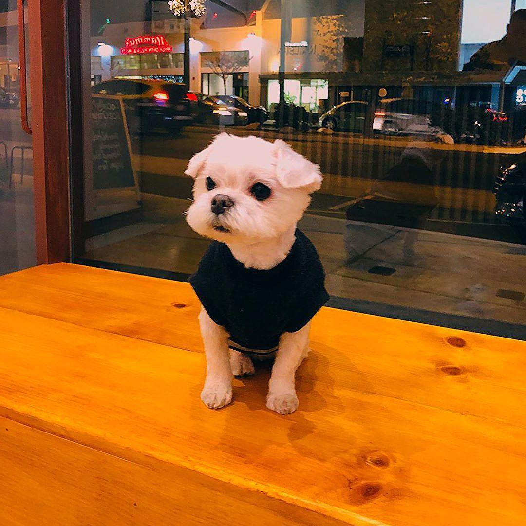 Puppies Shitzu