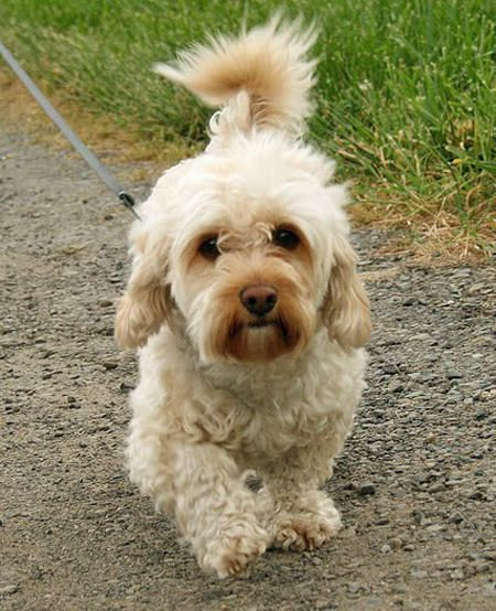 Dolce The Mixed Breed Dog Breed Chihuahua Dachshund Poodle