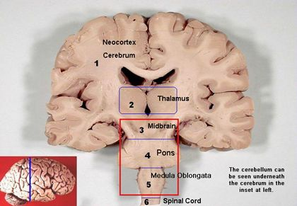 The brain: neocortex, thalamus, midbrain, pons, medulla ...