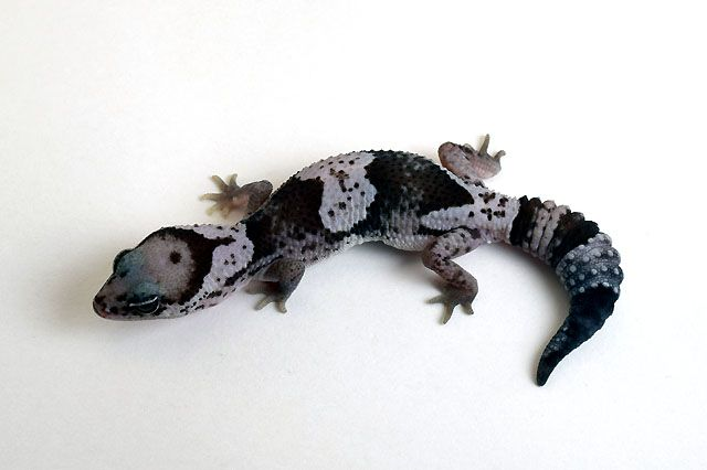 Click to enlarge | animales | Pinterest | Reptiles, Salamandras y ...