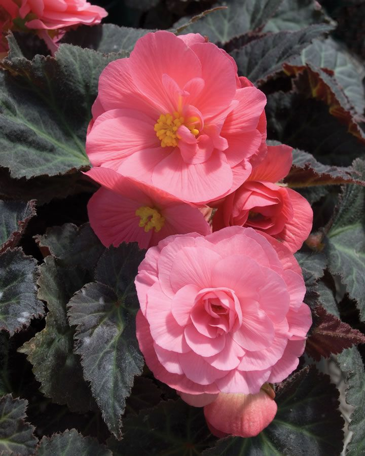 Tuberous Begonia NonStop Mocca Salmon Seed New Release