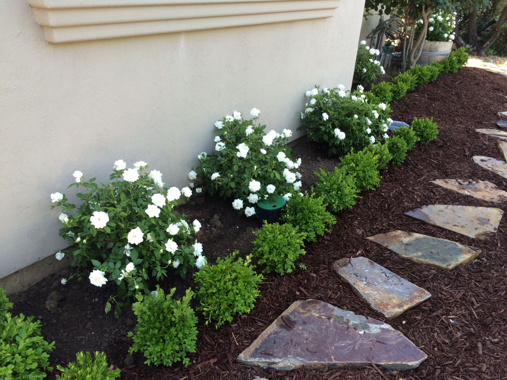 Landscaping ideas boxwood : Red roses and boxwoods front house google search