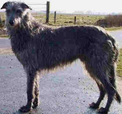Scottish Deerhound Standing In A Country Road Levriers