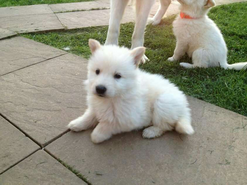 Jus A Pup Wgs With Images White German Shepherd Puppy Biting