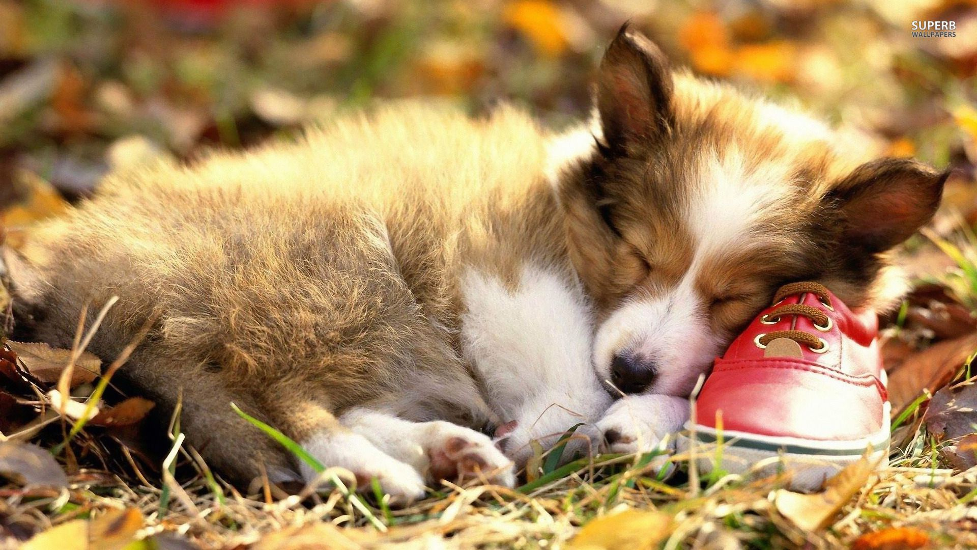 cute welsh corgi puppy wallpaper desktop 14a 1920x1080 px