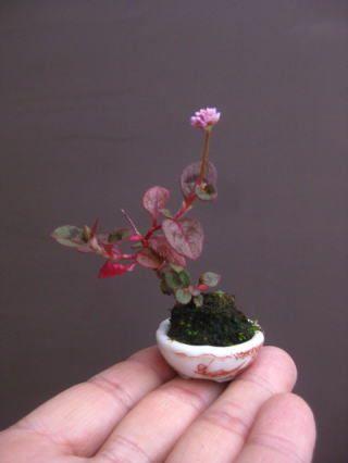「盆栽:勉強会のお知らせ」の画像|春嘉の盆栽工房 |Ameba (アメーバ)