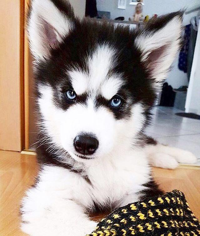 So cute More Más | I ♡ huskies | Pinterest | Huskies siberianos ...