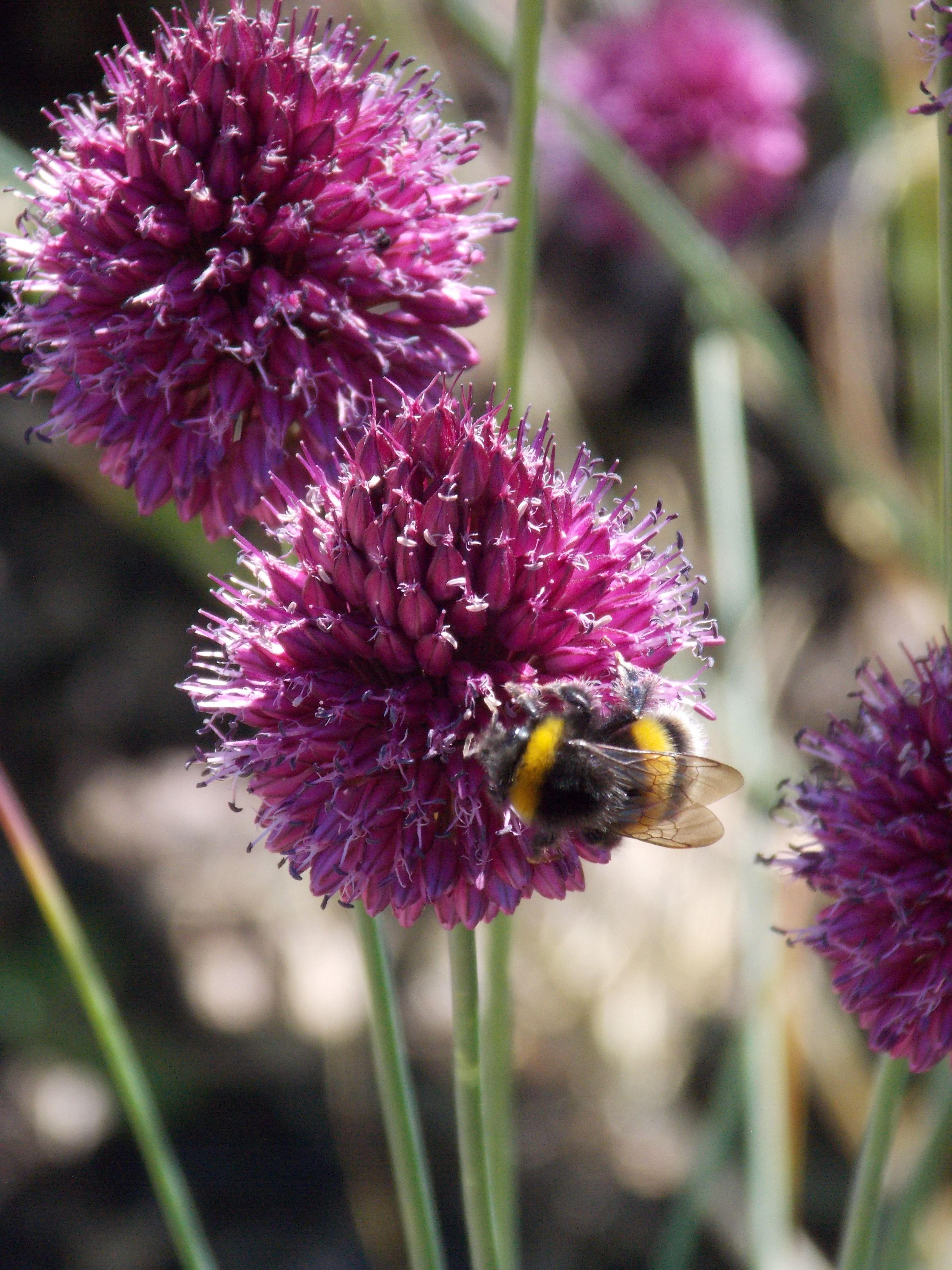 Bees gathering pollen. Hommels