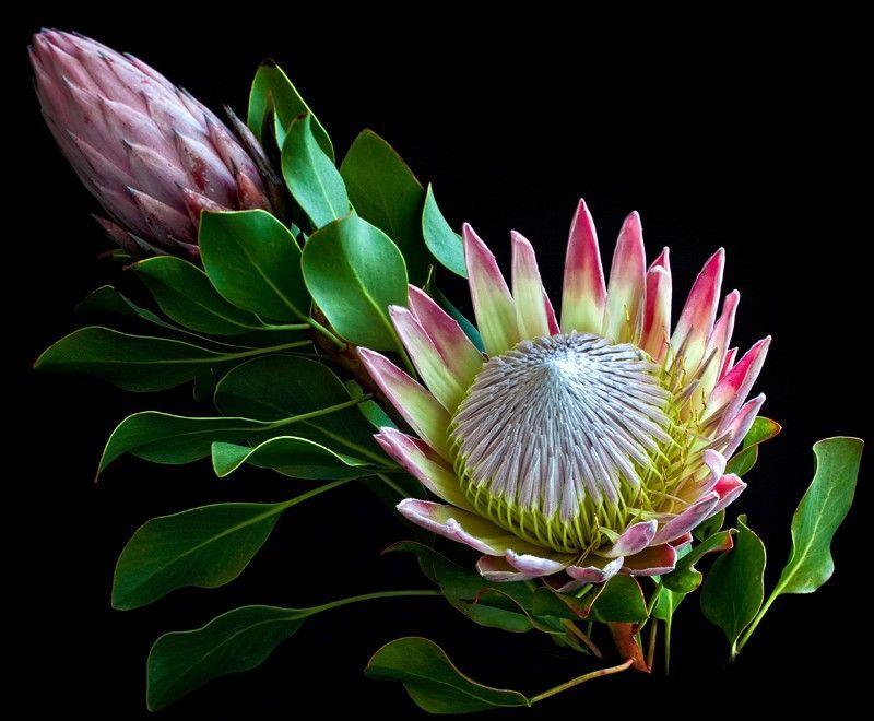 23 Stunning Proteas Flores Exoticas Flores Raras Flores