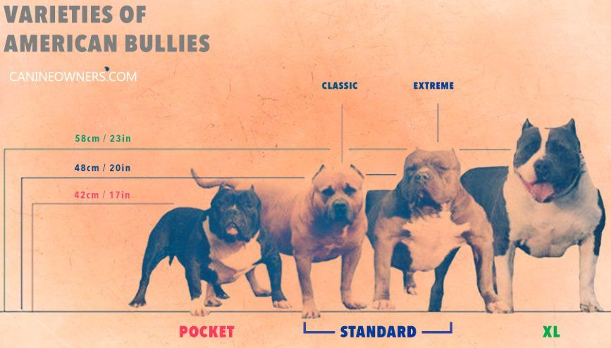 American Bully Dogs Bully Puppies Bully Care Breed Types