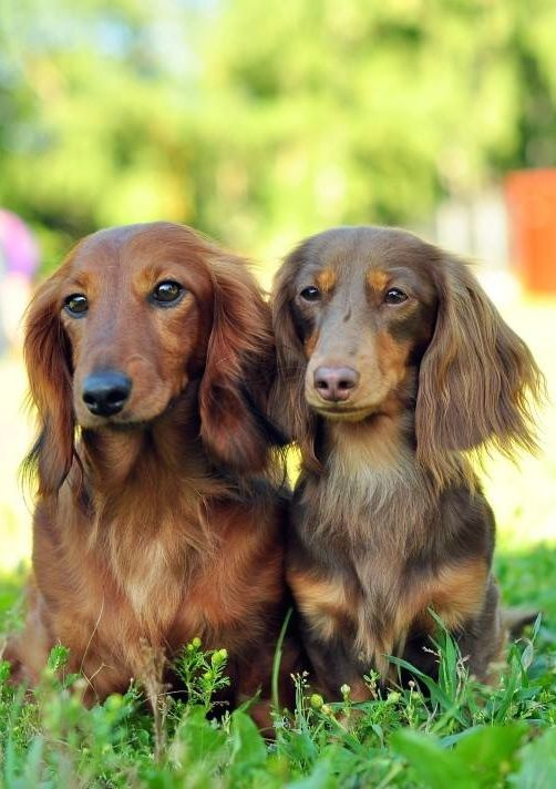 Love Their Long Hair And The Color Dachshund Breed Long Haired