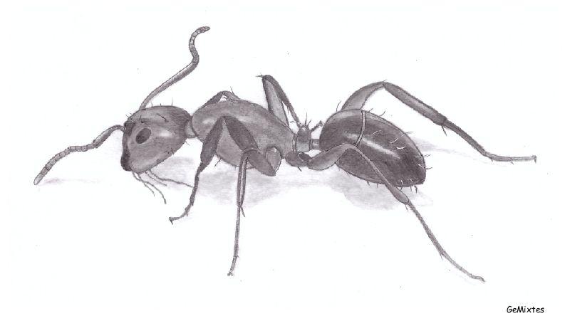 Ameise Zeichnen Ameisen Siebdruck