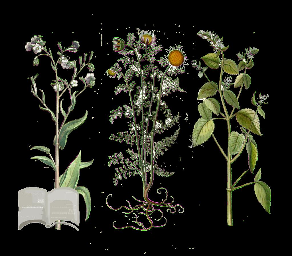 Come Seccare Le Piante come coltivare e conservare le piante officinali - flower